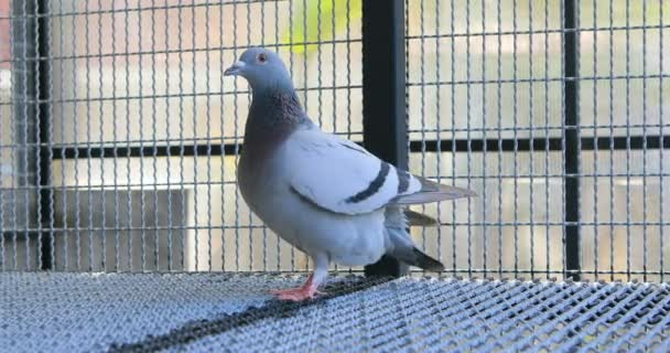 speed racing pigeon in home loft