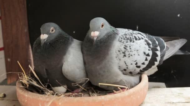 speed racing pigeon bird hatching in home loft