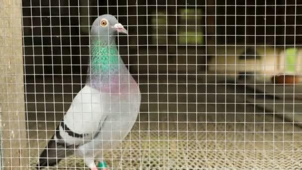 speed racing pigeon bird in home loft