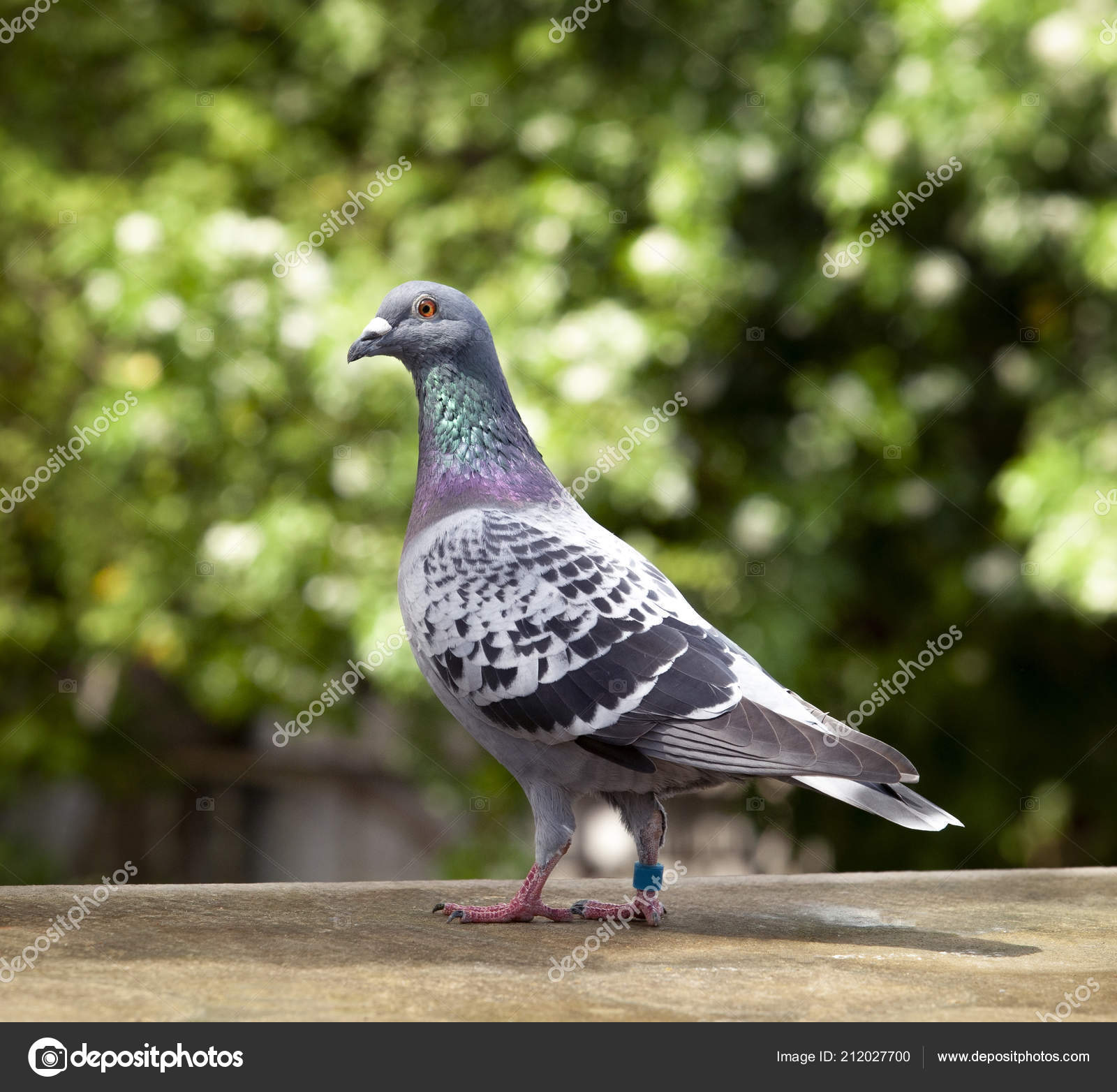 Pmages: racing pigeon lofts | Check Feather Pattern Homing