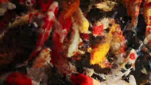 krmení ryb koi kaprů v čisté vodě vodní
