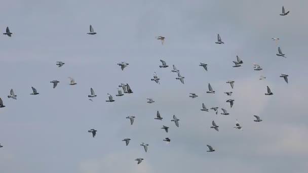 stádo letových rychlíkem závodního holubníku