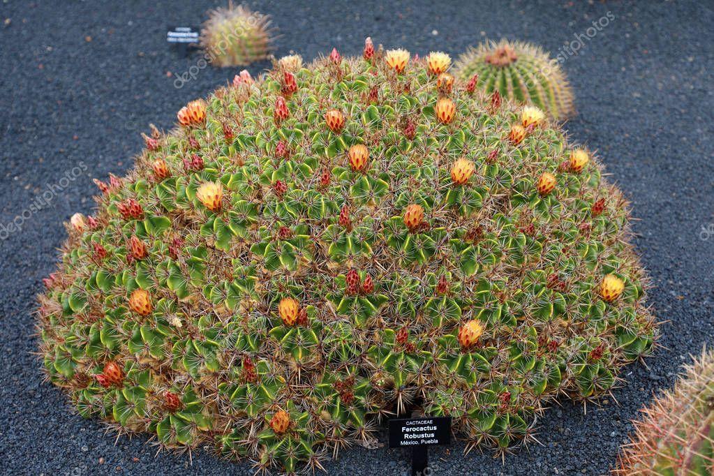 Ferocactus robustus in Jardin de Cactus garden, Guatiza, Lanzarote Island