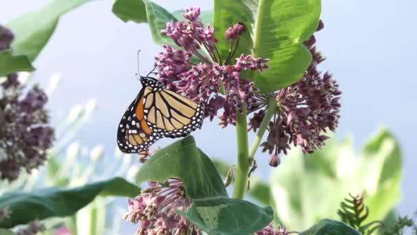 Monarch motýl na bažiny milkweed