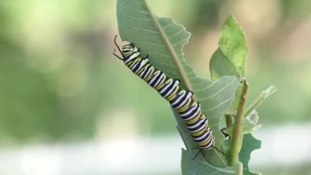 Monarch butterfly caterpillar eating milkweed plant