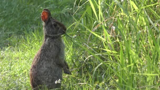 Marsh králík přiživuje na trávě v Florida mokřadů