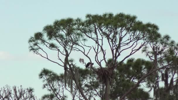 Weißkopfseeadler-paar in der Nähe von Nest Paarung