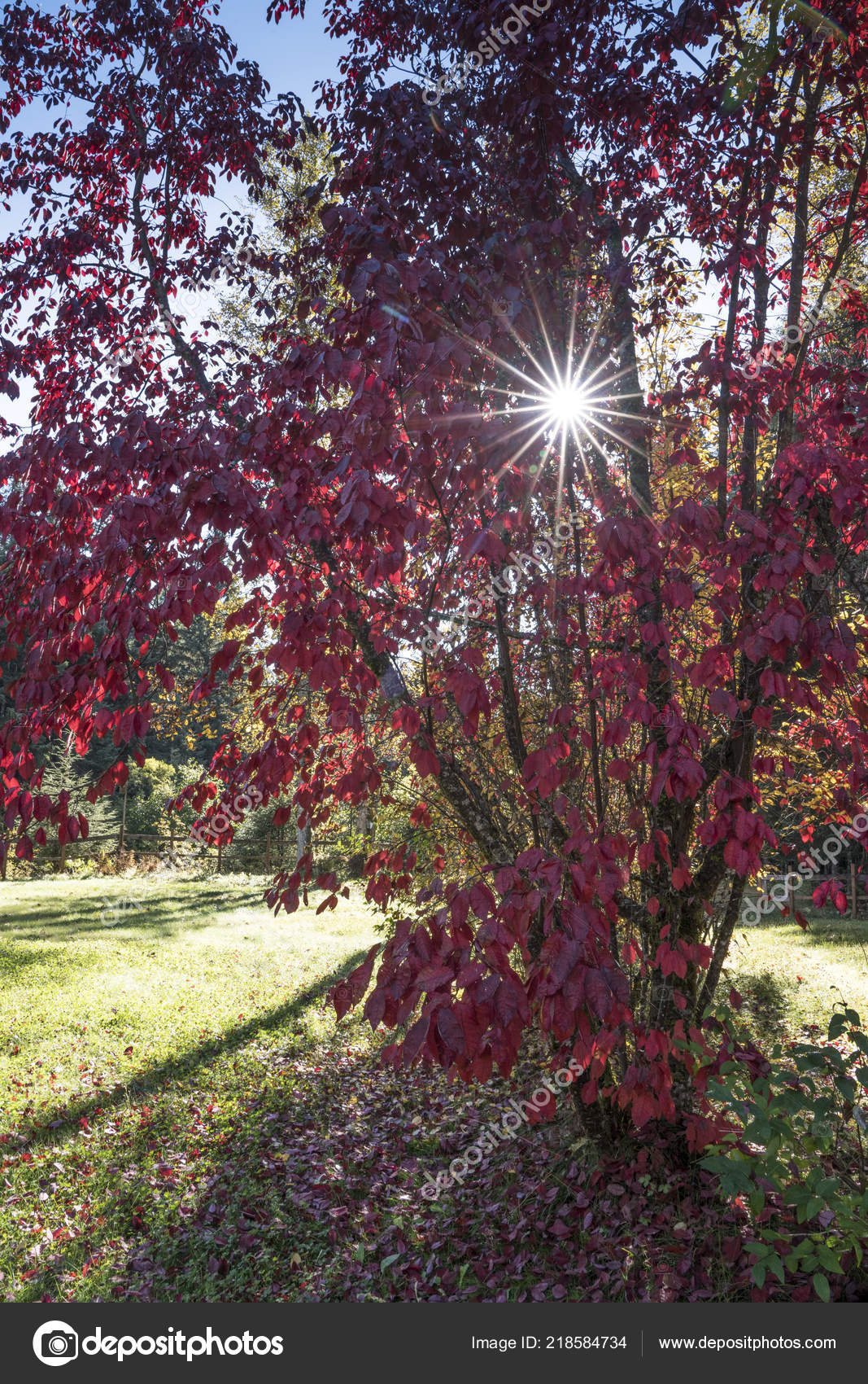 Red Leaves Purple Leaf Sand Cherry Fall Sun Shining Branches Stock Photo C Mcornelius 218584734