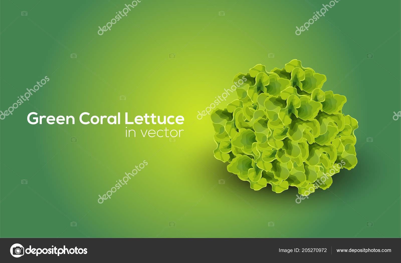 Zelena Koralove Hlavkovy Salat Vektorove Grafice Kresleni Aplikaci