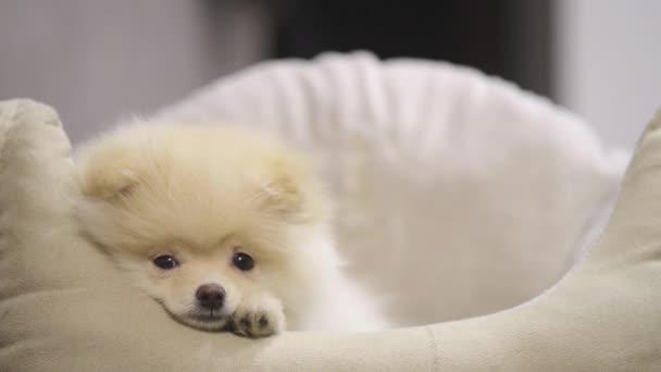 Funny Pomeranian Puppy Pet Bed Stock Video C Vigenmnoyan Gmail Com
