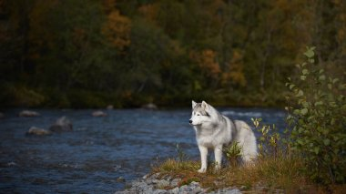 Grey husky at the river in the forest