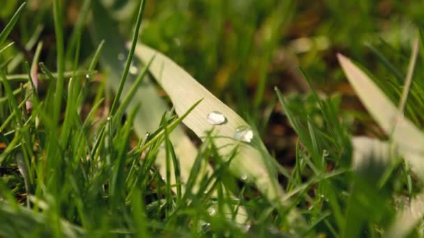 Velké kapky deště leží na stéblo trávy. Detailní záběr krásné rosy na trávě v ráno. Velký lesklý kapky rosy na zelené trávě