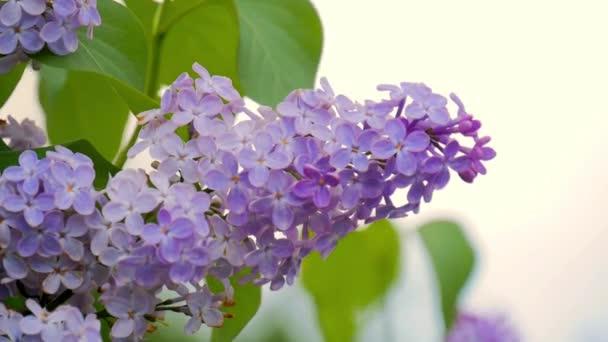 Lila fialové květy zavřít nahoru, přírodní sezónní jarní květinové makro pozadí s kopie prostoru. Vítr houpat větve s krásnými květinami