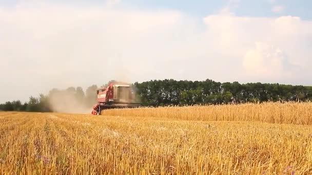 Kombinovat kombajn nabíráním úrody pšenice. Kombajn, působící v oblasti. Modrá obloha.