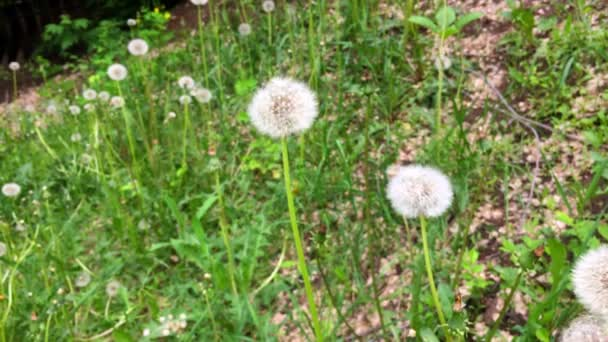 Pampelišky louce zelené trávě pozadí. Pohled na Pampeliška v kinematografii stylu