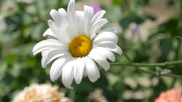 Heřmánkový květ zblízka. Příroda v létě, květinové pole, wild flower meadow, video pro pozadí, videozáznamem příroda, krásné sedmikrásky