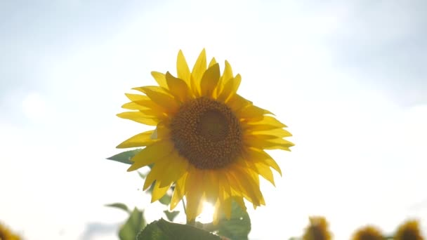Virágzás napraforgó a háttérben naplemente. Napraforgó, imbolygott a szélben területén. Közelről. A napraforgó nyári szép mezők.