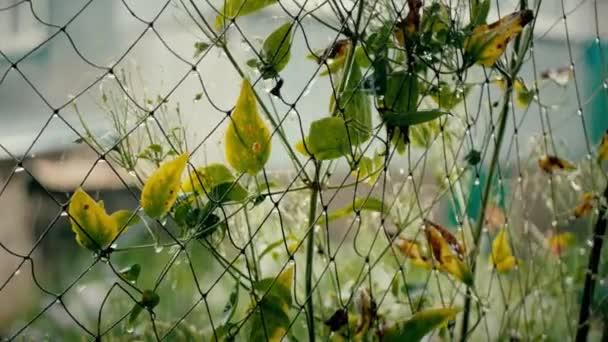 Goccia dacqua scivola fuori una foglia verde, gocce di acqua sui fogli verdi dopo pioggia estiva, rallentatore vicino