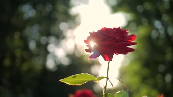 Červená růže květ, kvetoucí v květinové zahradě, sluneční erupce.