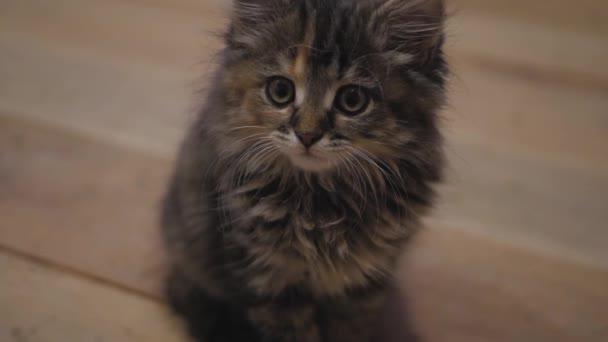 Aranyos perzsa kiscica otthon. Furcsa szürke cica. Kis testű háziállat.