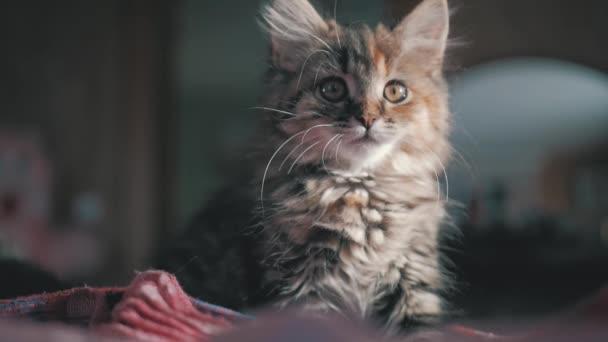 Aranyos szép cica otthon. Furcsa szürke cica. Kis testű háziállat