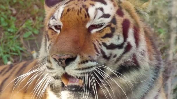 Tvář tygr Detailní záběr.