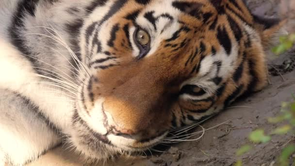 The face of a tiger close up.