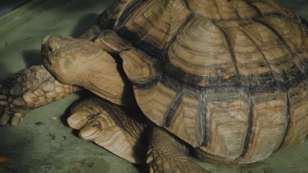 Egy óriás teknős portréja közelről..