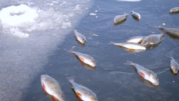 Téli jeges halászat fogalmát. Sügér hal hazudik a befagyott tó jég.