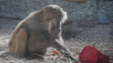 f679367611d Hamadryas baboon intimidating other male with his big mouth wide open.  Monkey open mouth.