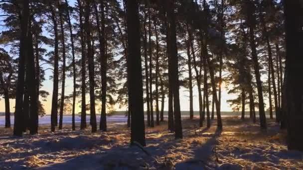 Borovicemi pokryté sněhem na mrazivý den. Fantastická zimní krajina. Slunce v lese mezi kmeny stromů v zimním období. Vánoční pozadí zasněžené jedle