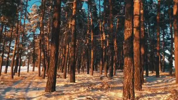 Borovicemi pokryté sněhem na mrazivý den. Fantastická zimní krajina. Slunce v lese mezi kmeny stromů v zimním období. Vánoční pozadí zasněžené jedle.