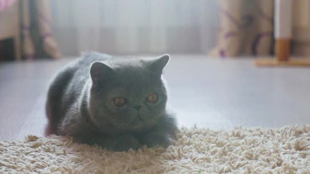 Grey shorthair cat on a grey floor.