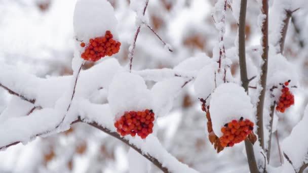 Červené jeřabiny sněhová pokrývka v zimě chladný den. Zimní krajina s sněhem pokrytých mountain ash