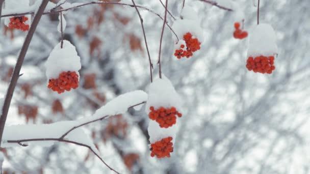 Vörös berkenye bogyók fedezi a hó a téli hideg nap. Téli táj havas hegyi kőris.