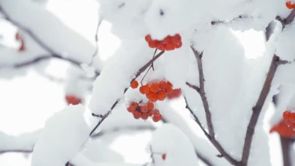 Červené jeřabiny sněhová pokrývka v zimě chladný den. Zimní krajina s sněhem pokrytých mountain ash.