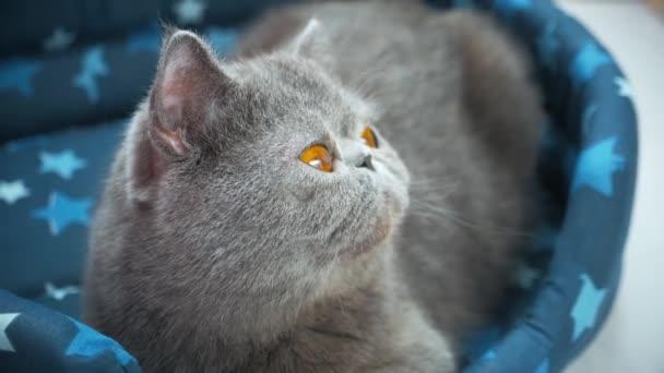 Spící šedá kočka v posteli kočka.