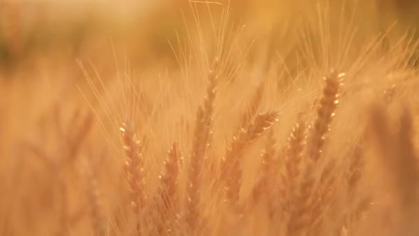 Golden grain ready for harvest growing in a farm field. Wheat field. Ears of yellow wheat close up. Rich harvest Concept.