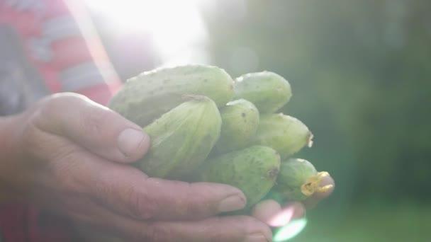 Frissen szüretelt uborkát tartó nő. A bioélelmiszerek, az egészséges táplálkozás és a betakarítás fogalma.