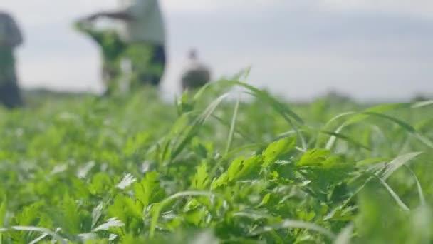 Vysbíjím zeleň z hřiště. Čerstvě vyskladněné byliny v dřevěné krabici. Zemědělci sklízejí čerstvé petrželky nožem na poli organické ekologické farmy. Pracovní proces. Koncepce sklizně.