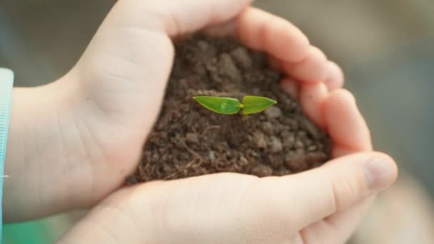 Small green plant growing from soil in a child hands.