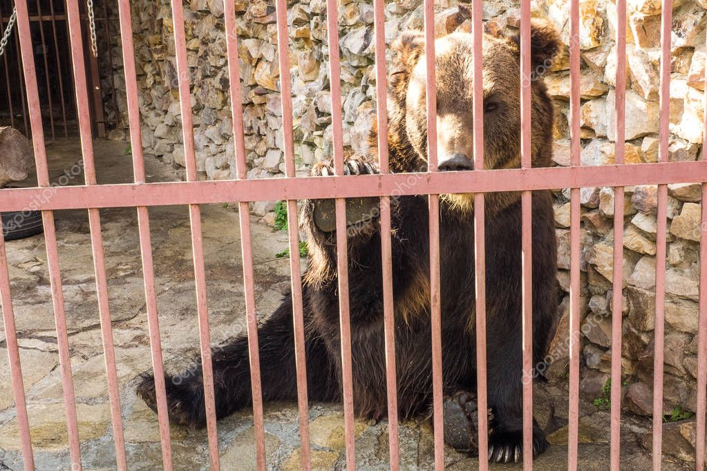 Bear in a zoo, in a cage. Muzzle of a bear.Brown bear.