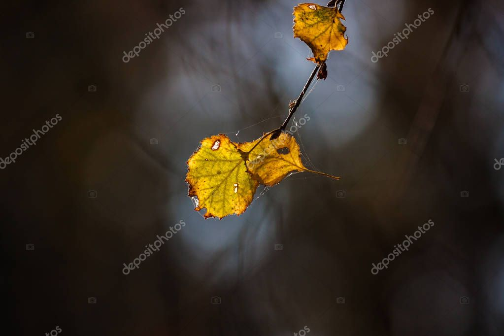 Yellow birch Autumn leaf on a dark background with backlight. Close-up. Shallow depth of field.
