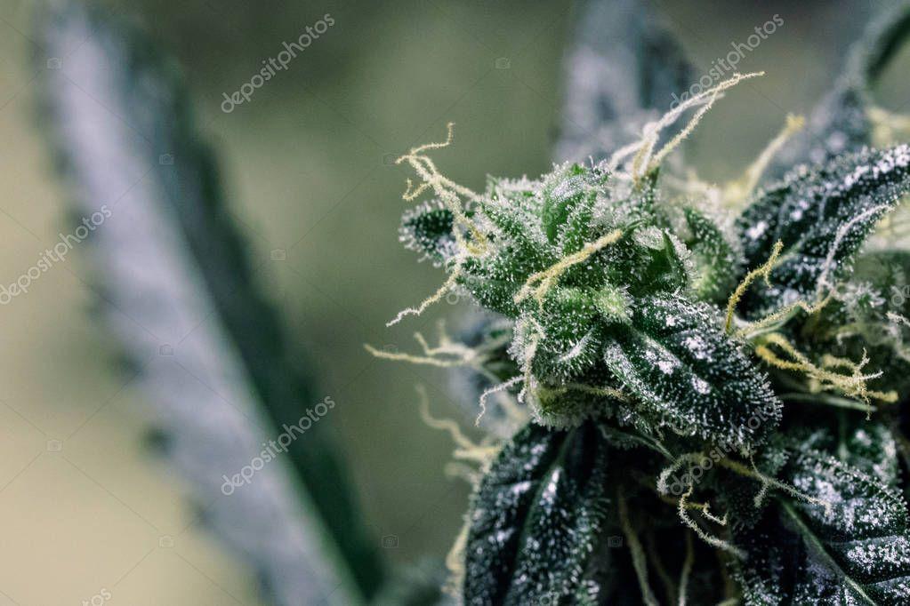 Colorful Cannabis Grow. Multicolored medical marijuana buds close-up. Marijuana Plant Budding Indoors at LED light.