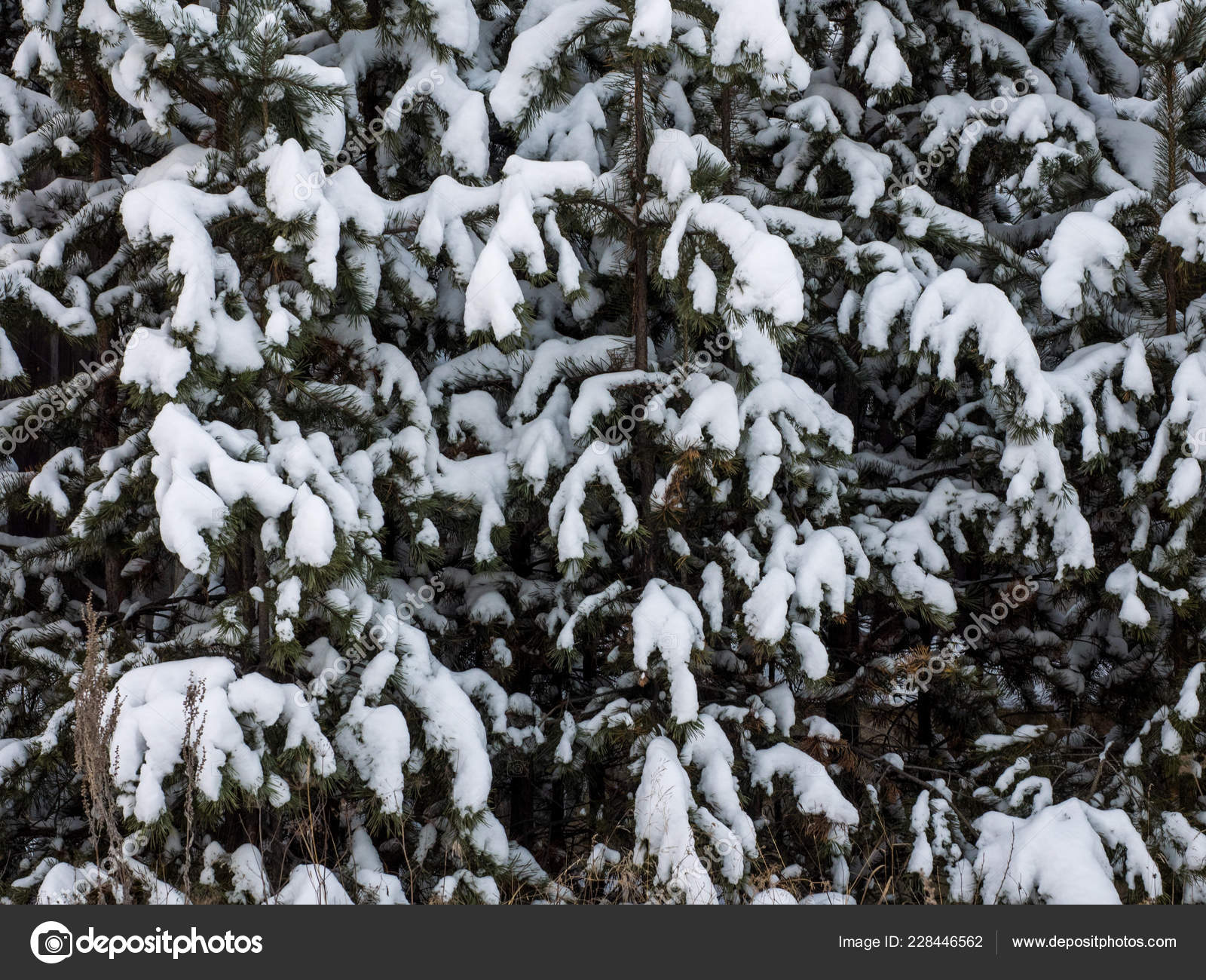 Beautiful Winter Background Scenic Wintertime Wallpaper Snow Covered Fir Tree Stock Photo Image By C Evgeniy Bobkov 228446562 ❤ get the best snow wallpaper hd on wallpaperset. depositphotos