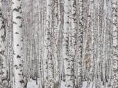bříza lesa zblízka. Stěna z březové kmeny. texturních pozadí pro rozložení. přírodní krajina v zimě. sníh a mráz