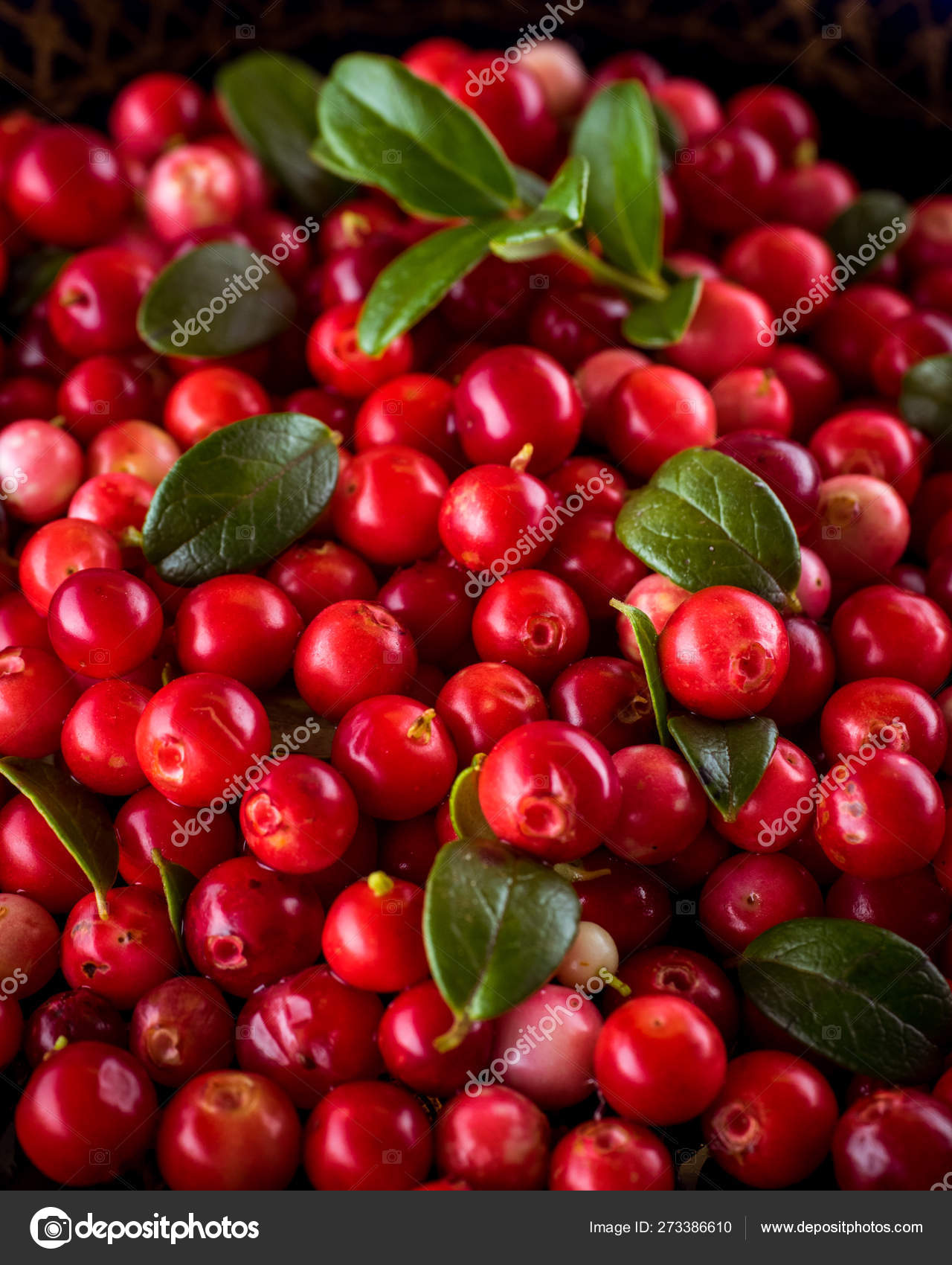 Background with cowberry. Vaccinium vitis idaea lingonberry, pa 32