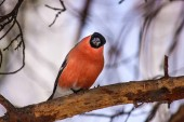 Common bird Bullfinch (Pyrrhula) with red breast sitting on snow