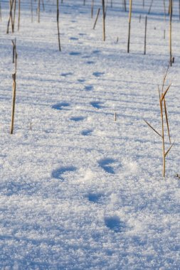 traces of a hare in the snow. hunting season is open. search for