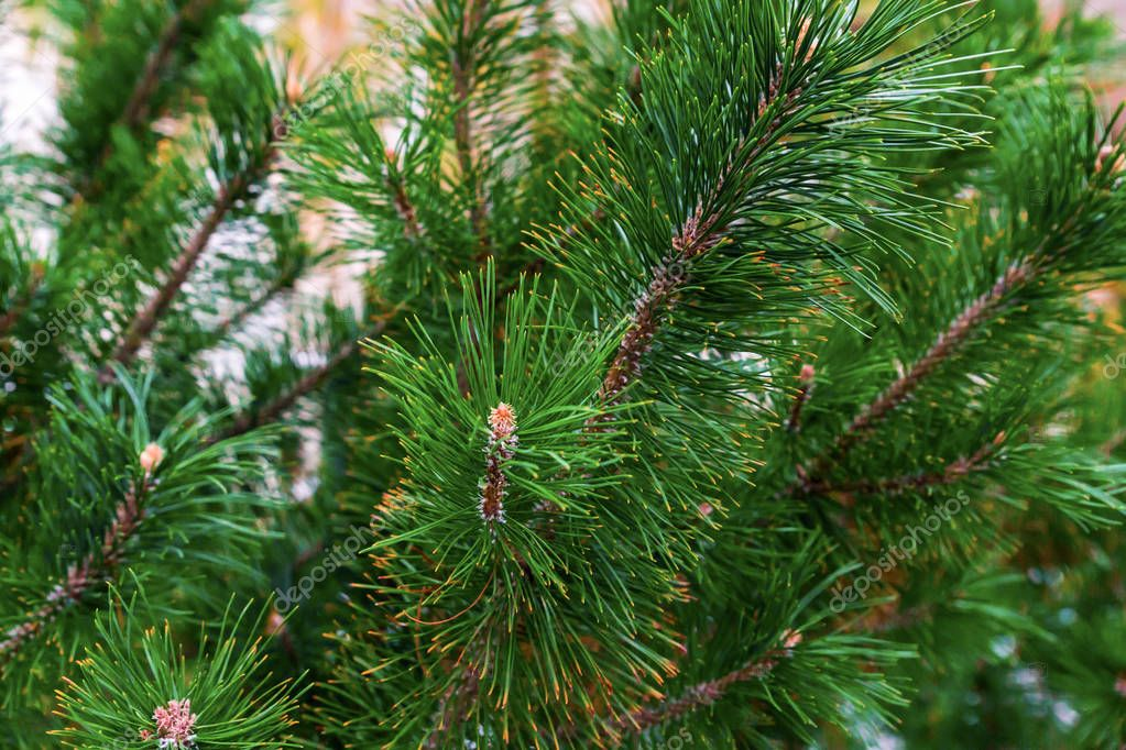 lush spruce green festive pattern vegetative long needles natural base close-up of bases design